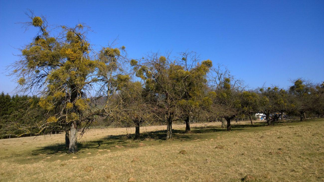 Mistelbäume Rottenberg